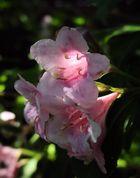 weigelienblüte