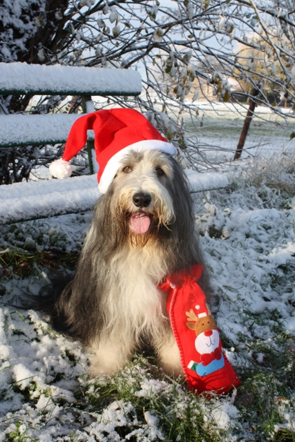 Weihnachts Bearded Colli Micky