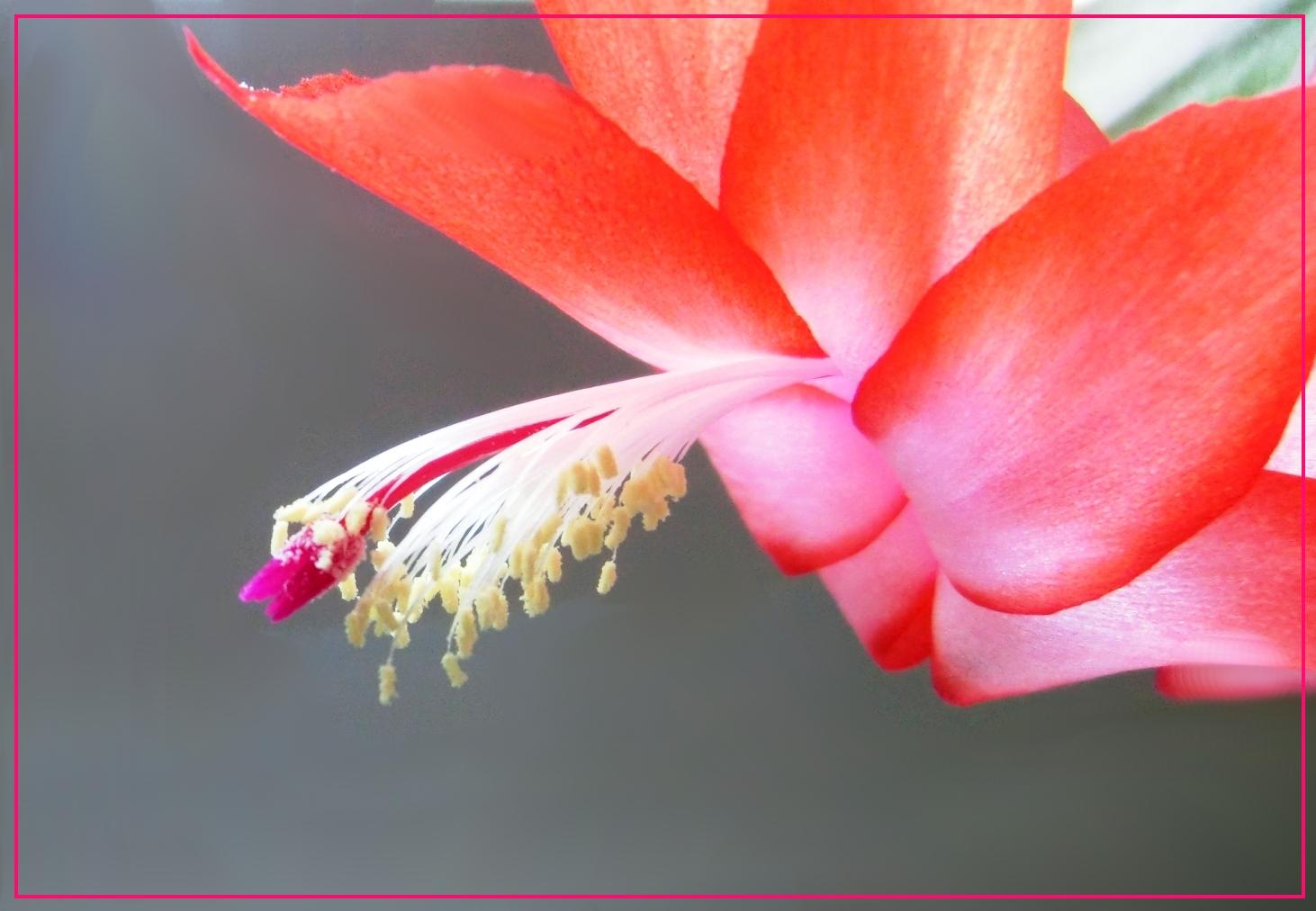 Weihnachtskaktus-Blüte