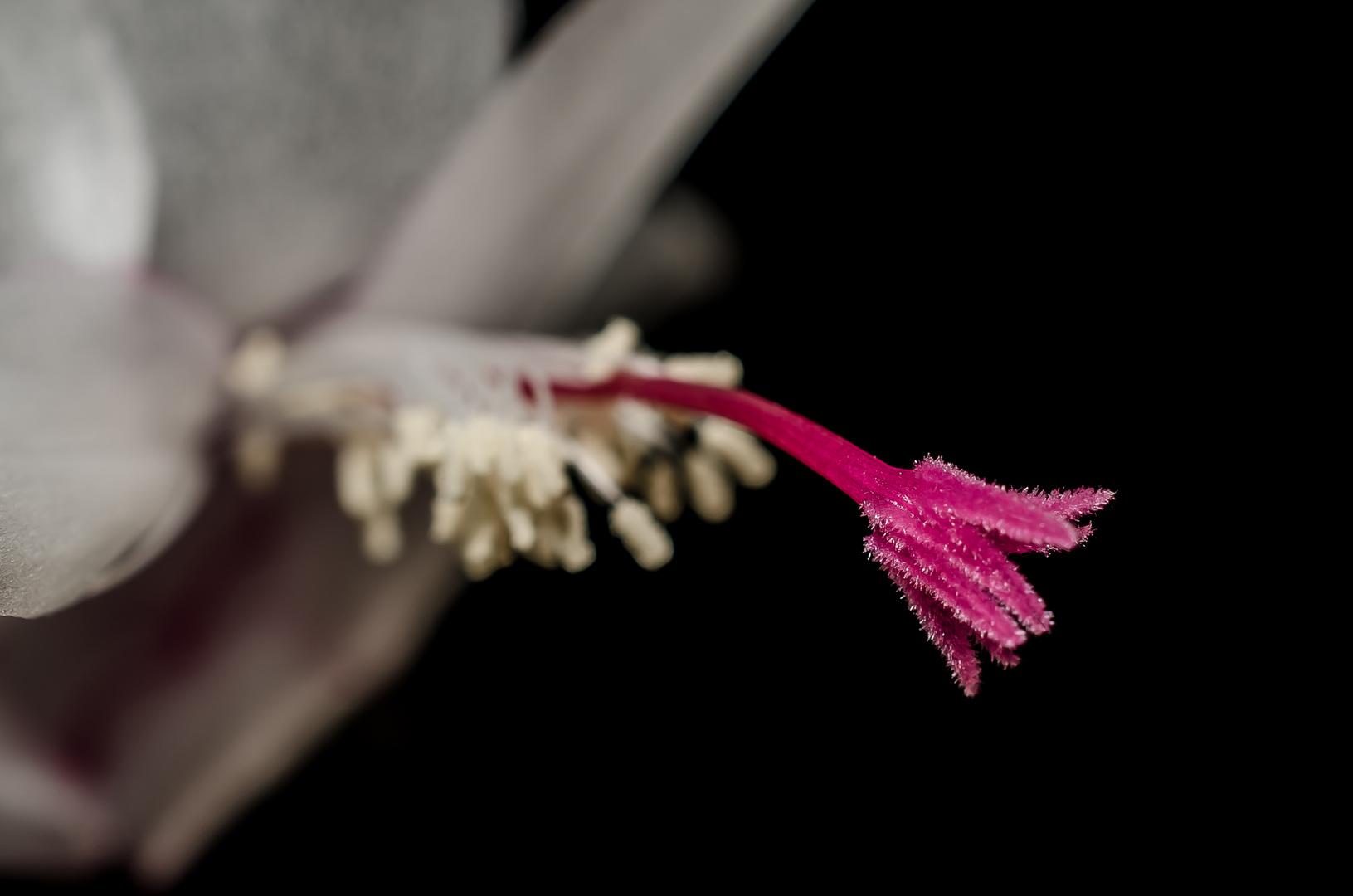 weihnachtskaktus (schlumbergera truncata)