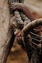 Weihnachtskind mit feuerroten Haaren - Orang-Utan Nachwuchs - II