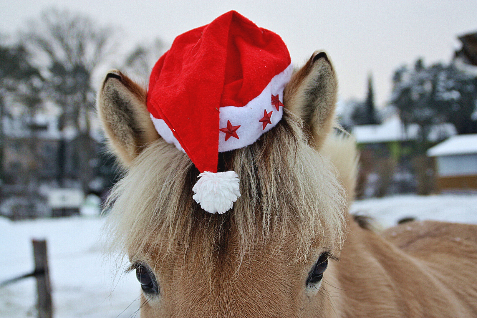 weihnachtspferd foto bild tiere haustiere pferde. Black Bedroom Furniture Sets. Home Design Ideas