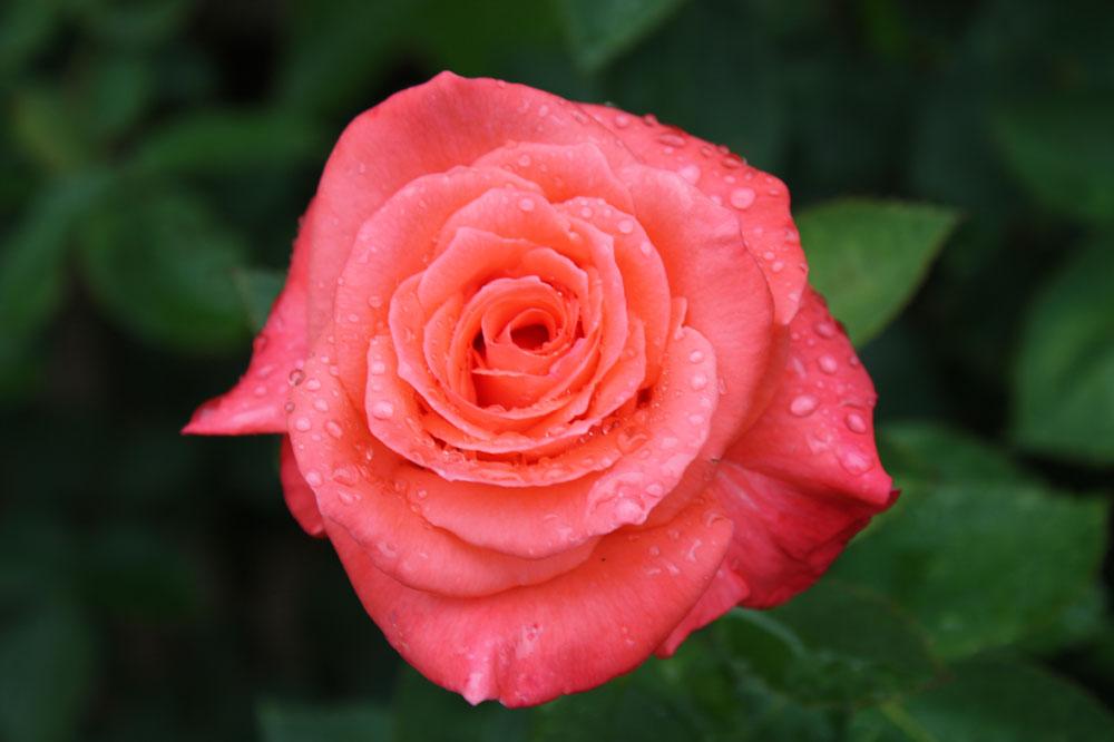 Weil fast Frühling ist - Rose 10838