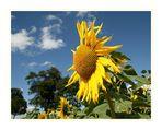 Weils Wetter heut gar so schlecht ist gibts zur Aufheiterung eine Sonnenblume