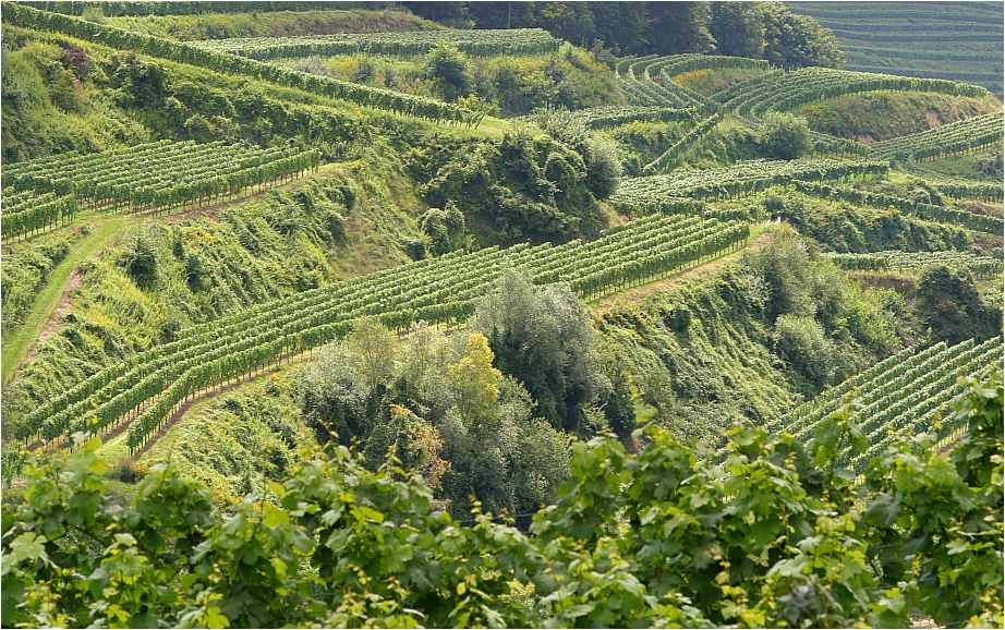 Wein am Kaiserstuhl