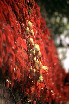Wein im Herbst, ein Ast errötet verpätet