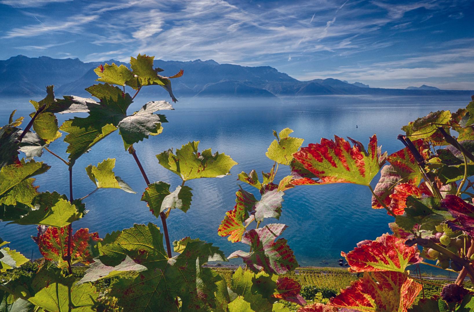 Wein in der Mittagssonne am Genfer See