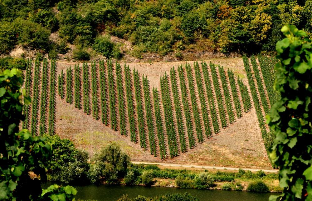 Weinanbau mit Herz