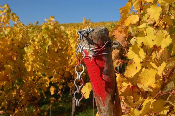 Weinberg im Kraichgau (Oktober)