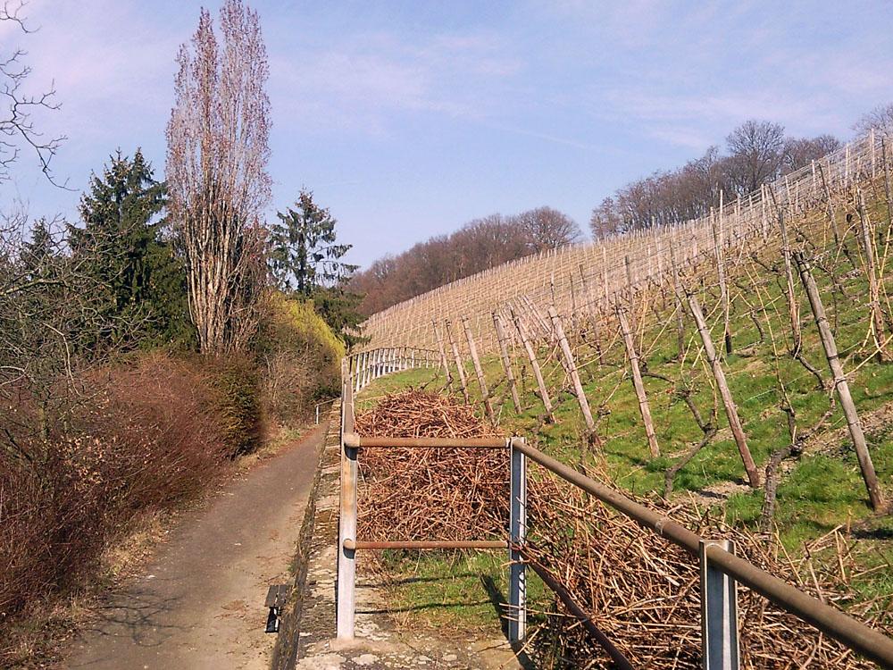 Weinberg in Oberdollendorf (2)