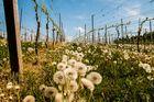Weinberg oder Pusteblumenplantage ?