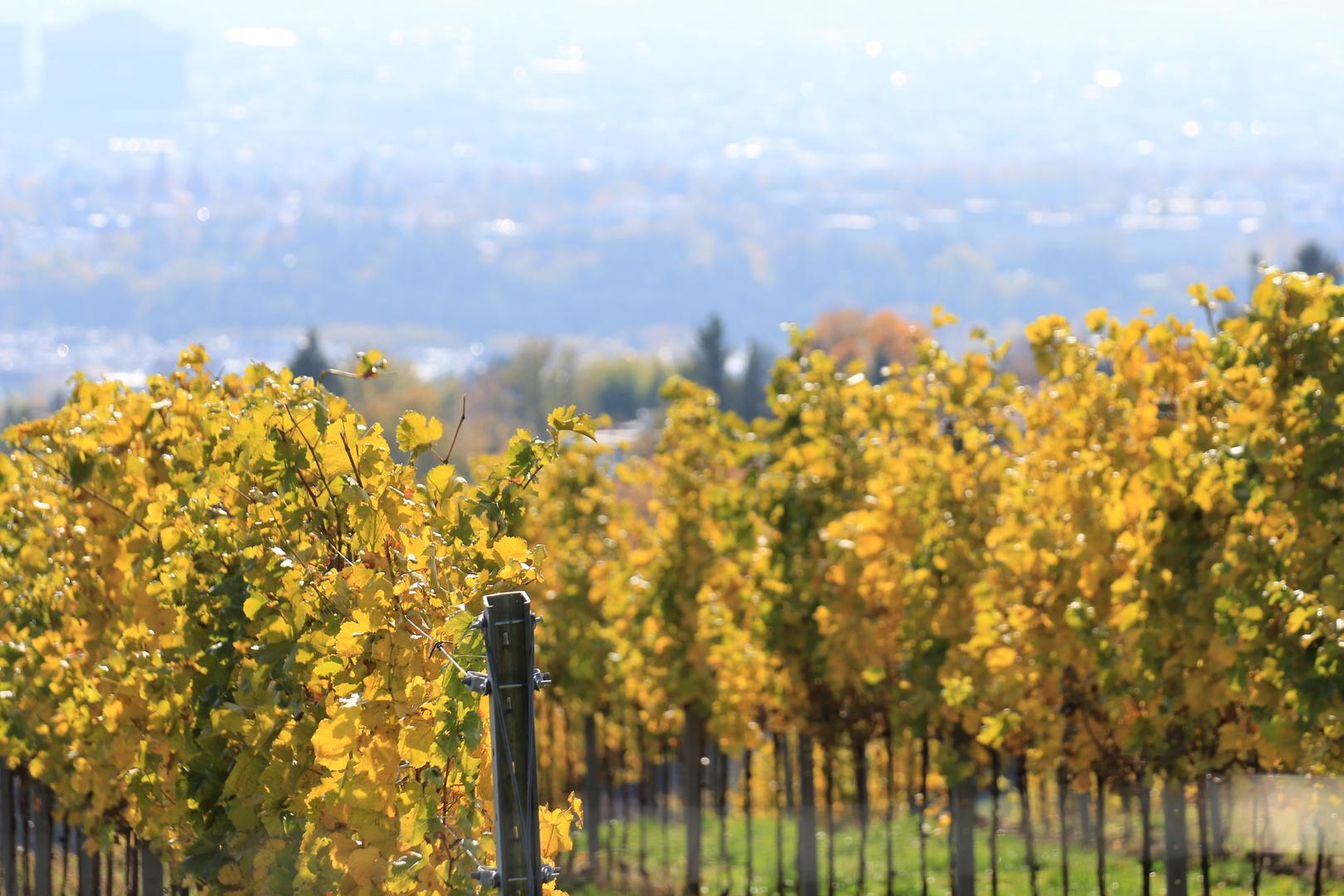 Weinberge bei Wien im Herbst