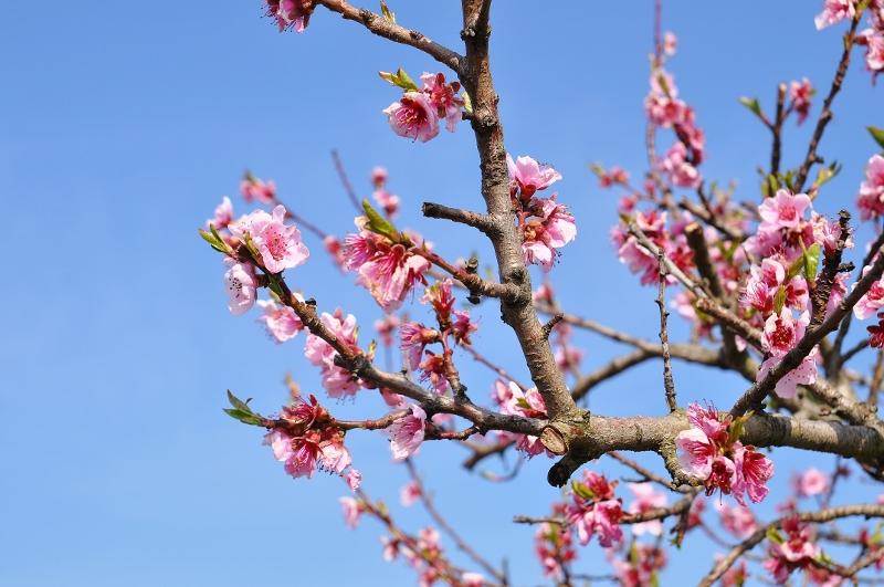 Weinbergpfirsichblüten im März an der Mosel