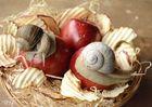Weinbergschnecke an Apfel - lecker ;-)