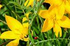 Weinbergstulpen ind voller Blüte