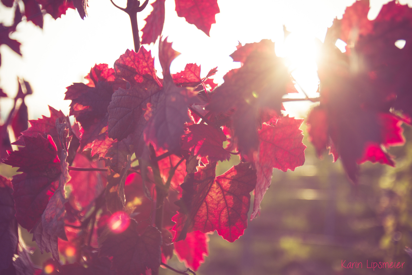 Weinblätter im Abendrot