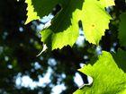 Weinblätter, Sommer