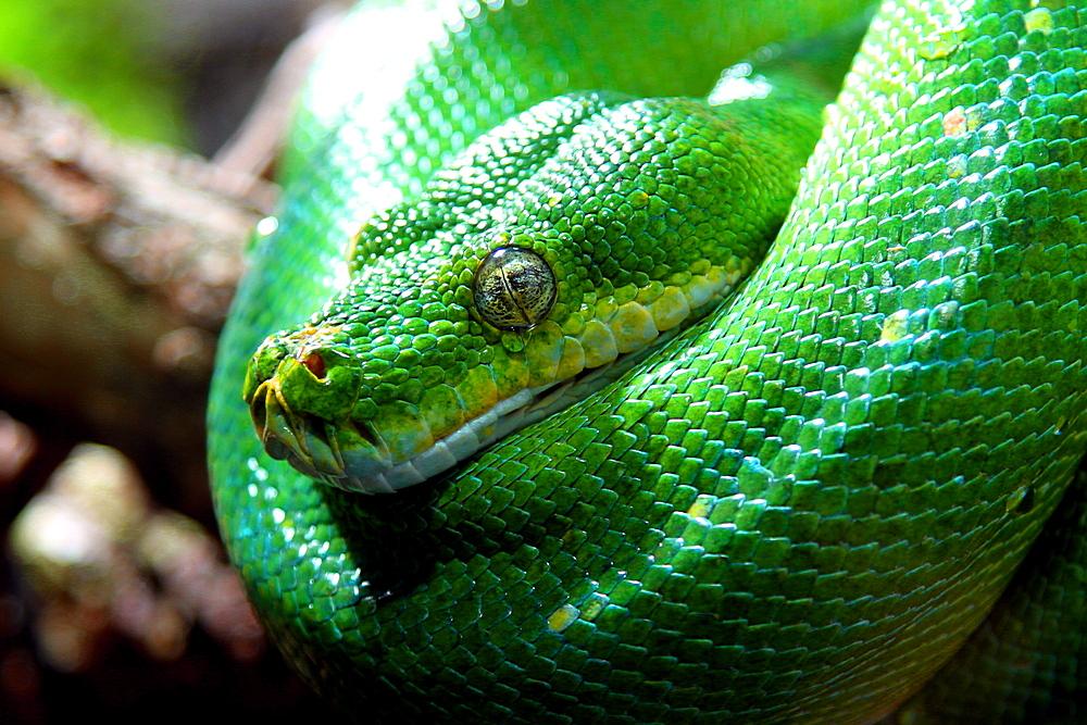 """""""Weinende"""" grüne Baumpython (Morelia viridis)"""