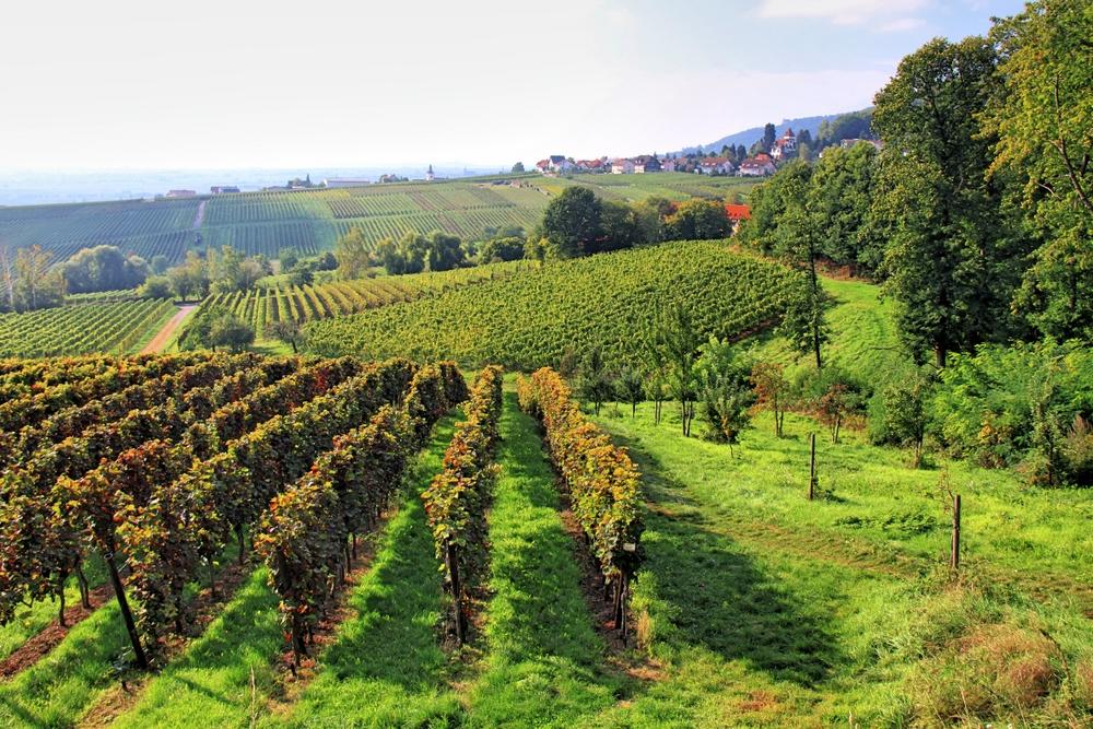 Weinfelder (1)