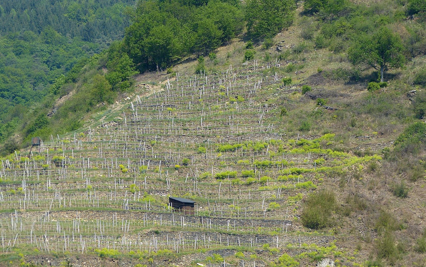 Weingarten in der Wachau