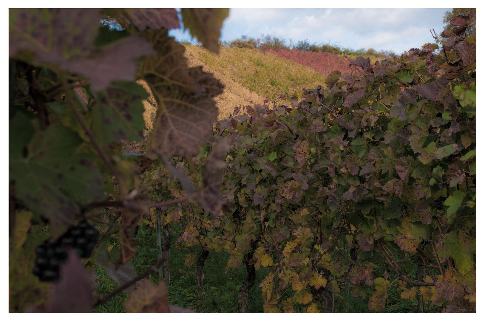 Weinherbst in Mainfranken II