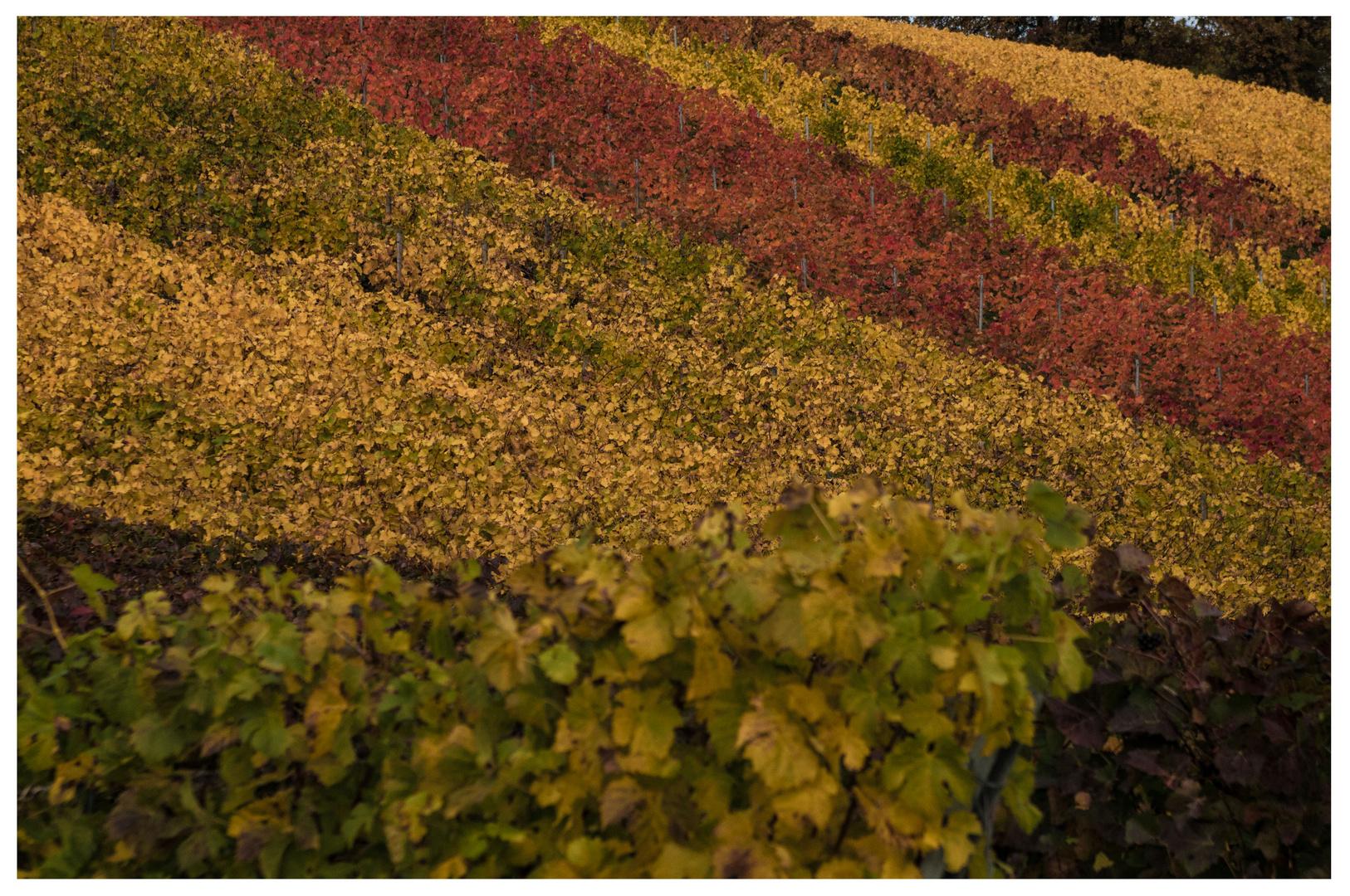Weinherbst in Mainfranken III