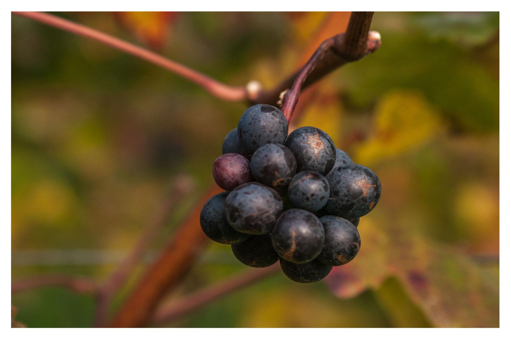 Weinherbst in Mainfranken V