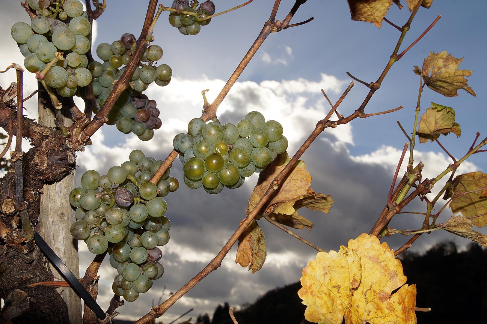 Weinlese 04/04 - Alter Stamm mit süßen Früchten