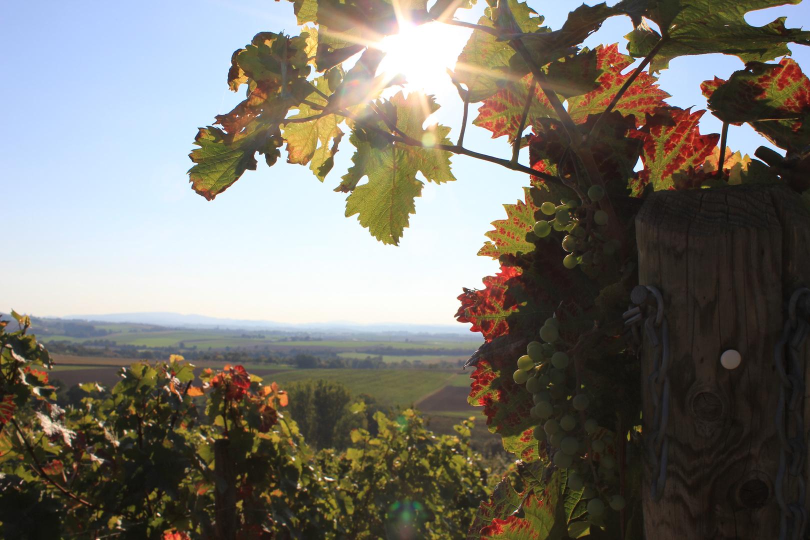 Weinpfad - Weintrauben