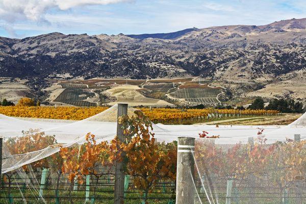 Weinplantage in Cromwell