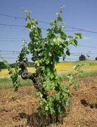 Weinrebe im Montalcino