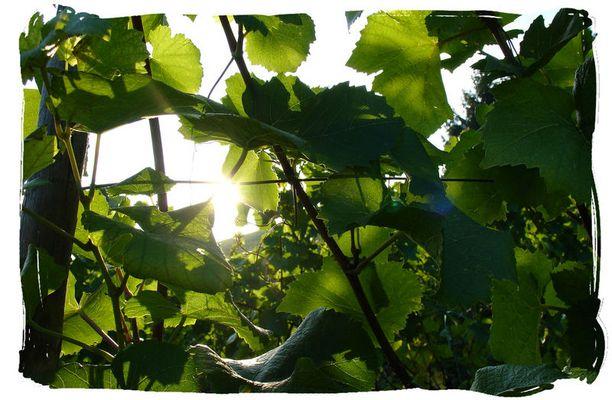 Weinreben in der Herbstsonne