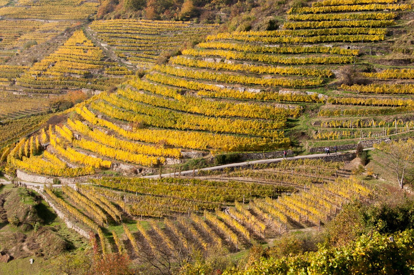Weinterassen bei Spitz, Wachau