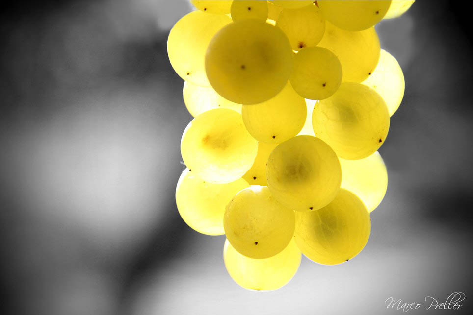 Weinträubl im Sonnenlicht