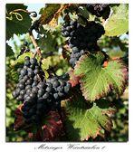 Weintrauben aus Metzingen