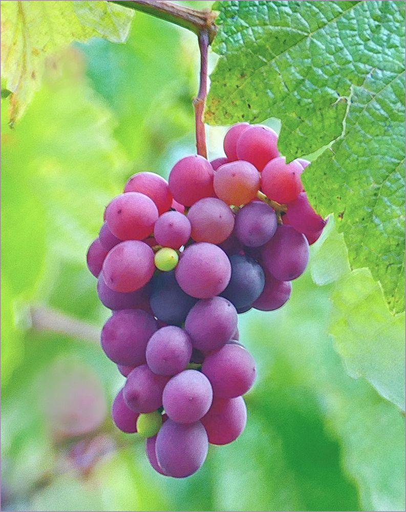 Weintrauben aus  Neugablonz