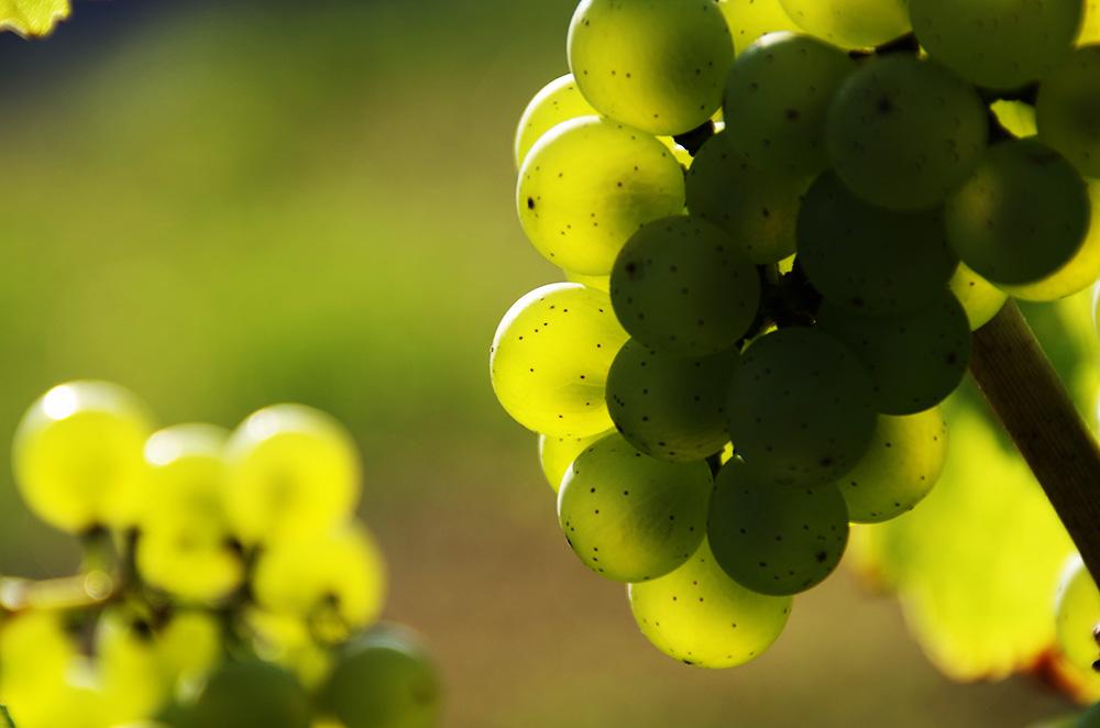 Weintrauben geröntgt