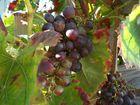 Weintrauben in unserem Vorgarten