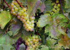 Weintrauben kurz vor der Ernte ...