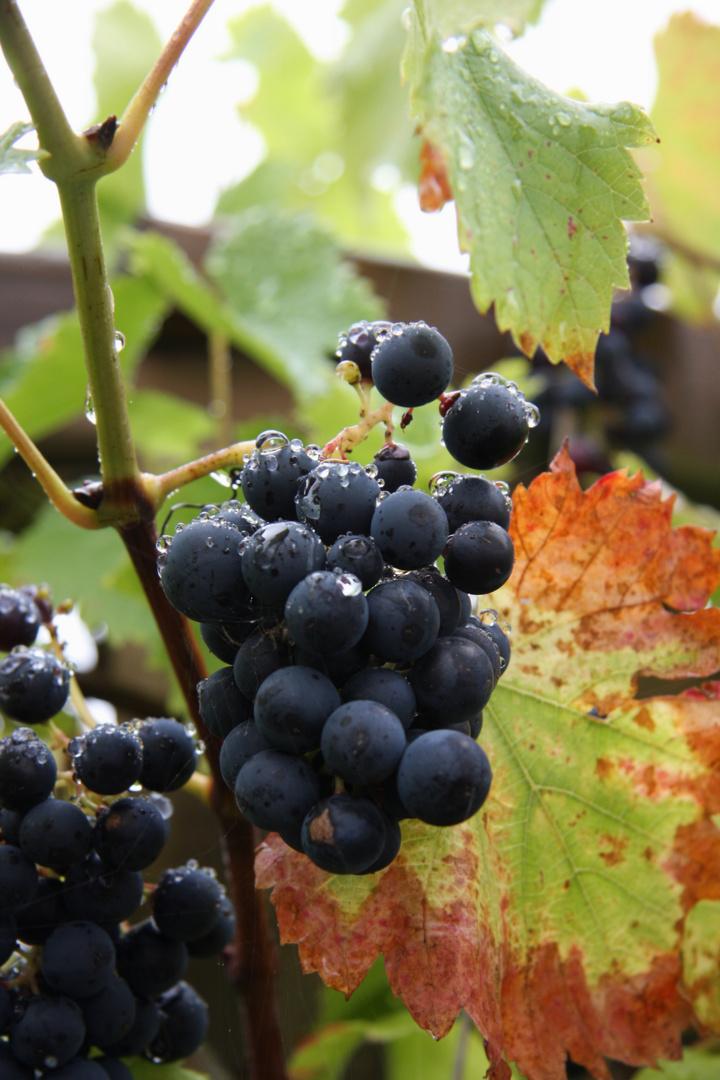 Weintrauben kurz vor der Ernte