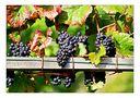 Weintrauben mit herbstlichen Blättern von Thomas Leib
