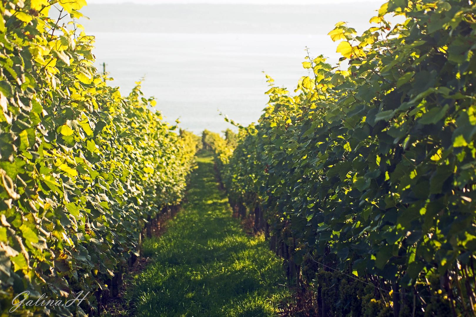 Weintrauben Plantage