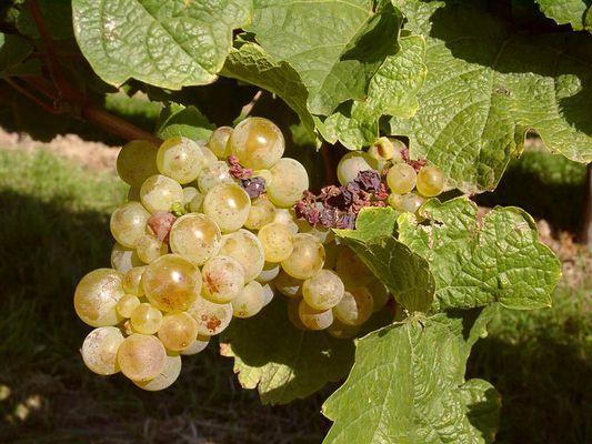 Weintrauben, Süß und Saftig..............