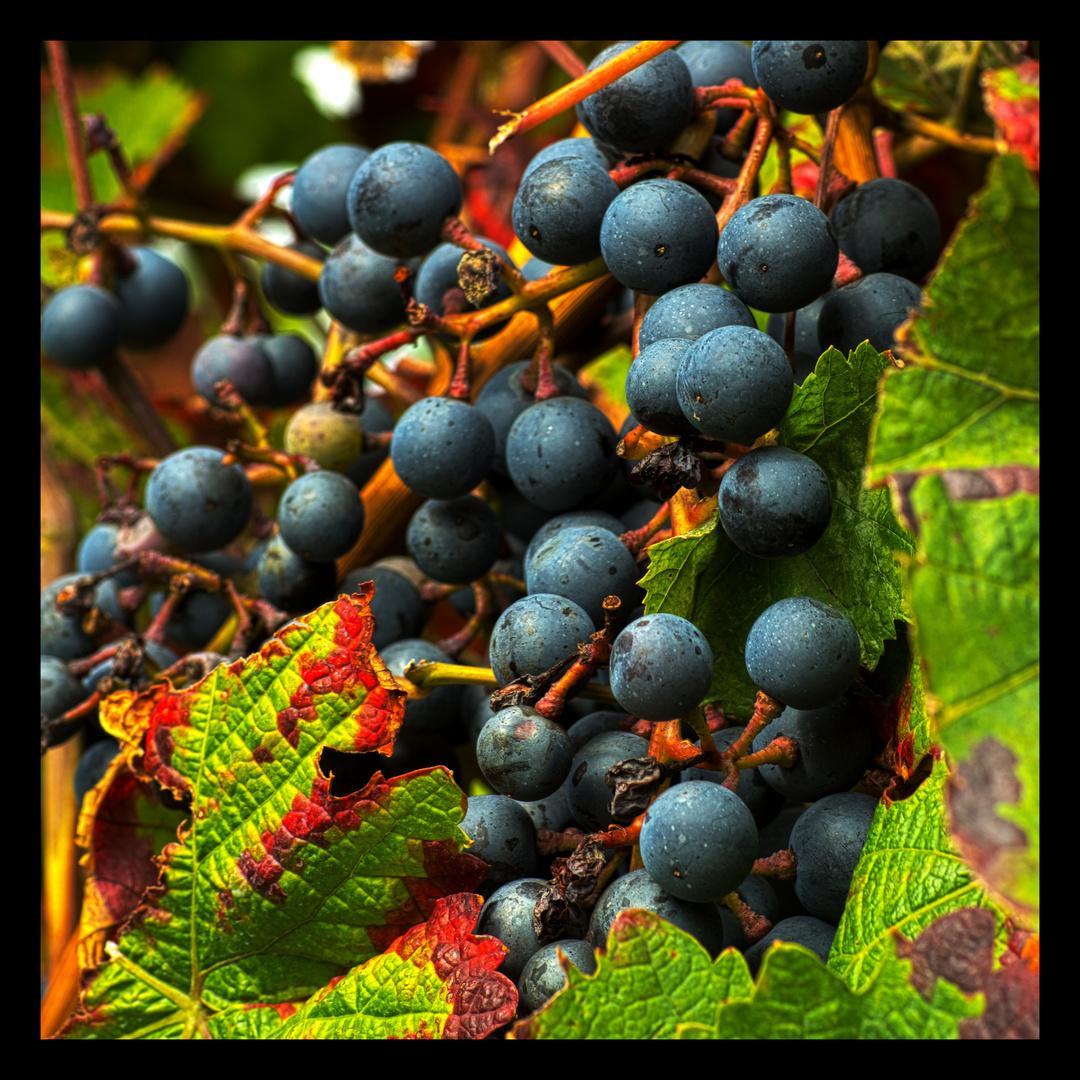 Weintrauben vor der Ernte
