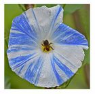 Weis-Blaue Winde mit Insekt