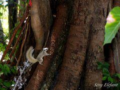 Weises Eichhörnchen