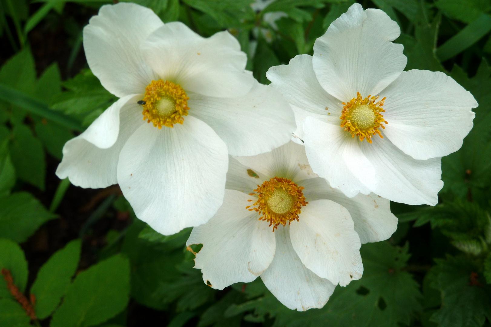 Weiß 3: Dauerblüher im Waldgarten