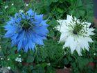 Weiß-Blau oder Blau-Weiß ?