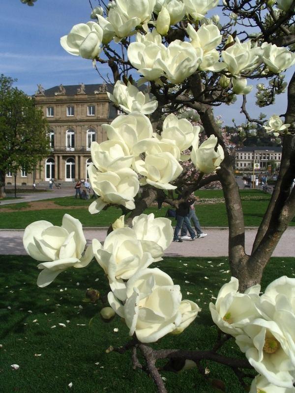 wei bl hende magnolie zierbaum auf dem stuttgarter schlo platz foto bild pflanzen. Black Bedroom Furniture Sets. Home Design Ideas