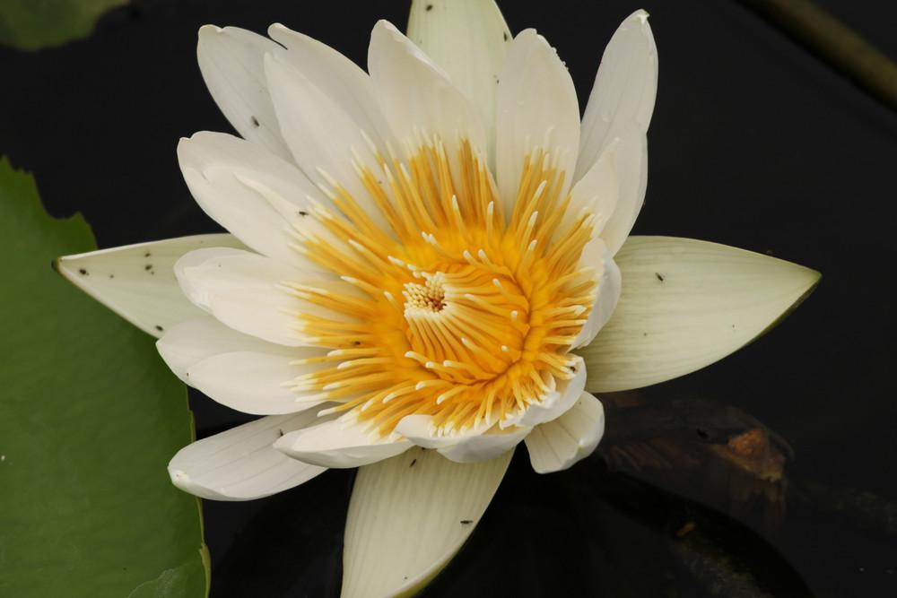 Weiß-Gelbe Seerose
